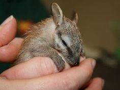 A baby Numbat, termite-eating marsupials from Western Australia.