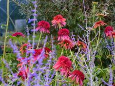Coneflower 'Cranberry Cupcake' (Echinacea) and Russian Sage 'Blue Spire' (Perovskia atriplicifolia) Russian Sage, Garden Inspiration, Garden Ideas, Flora, Backyard, Landscape, Planting, Creative, Pretty
