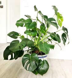 monstera monday with swiss cheese plant care, how to care for monstera, houseplants, plant blog, indoor plants, cocktail blog