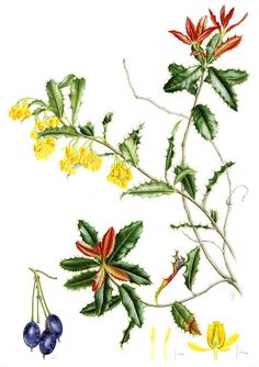 IŞIK GÜNER Botanical . Berberis negeriana. Chile.
