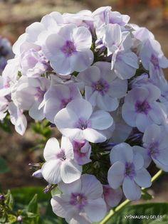 Phlox paniculata 'Junior Surprise'®