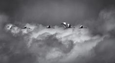 An unexpected snow squall moves in quickly on both the Swans and myself. Very dynamic and interesting. I