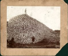 Pile of American bison skulls waiting to be ground for fertilizer, circa 1870.