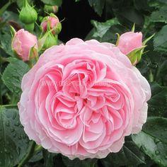 Rosen online kaufen | Hans Gönewein | rosenpark-draeger.de