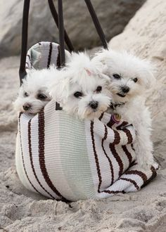Bag full of Cute Little Maltese Puppies - Beach Day Cute Puppies, Cute Dogs, Dogs And Puppies, Doggies, Perros French Poodle, Baby Animals, Cute Animals, Maltese Dogs, Little Dogs