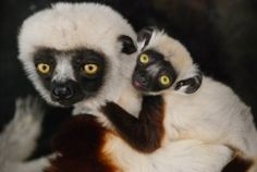 Established in 1966, the Duke Lemur Center is the world's largest sanctuary for rare and endangered prosimian primates. They house 233 lemurs encompassing 15 species. Lemurs, the ancient relatives of monkeys, apes, & humans, evolved in isolation on the island of Madagascar, but face extinction today. Tours of the Center (Mon. through Sun.) are available by appointment. Near Morehead Manor Bed and Breakfast of Durham, NC. http://blog.moreheadmanor.com/2015/05/duke-lemur-center-in-durham.html