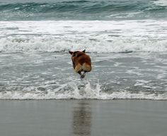 Hover Corgi! | Pembroke Welsh Corgi jumping the waves, San Diego Corgi Meetup @ Coronado Dog Beach | uploaded by Rebecca Murray