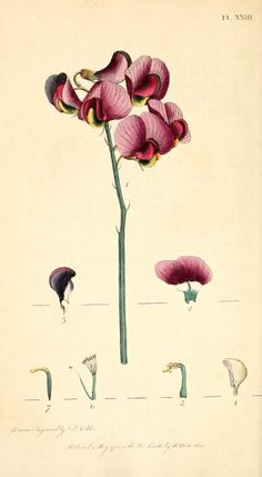 """Plate from """"Thirty-eight plates, with explanations: intended to illustrate Linnaeus's System of vegetables, and particularly adapted to the Letters on the elements of botany"""" by Thomas Martyn and Frederick Polydore Nodder, London: J. White, 1799.:"""