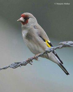 goldfinch ropes Himalayas, Iran, al-Kirmani