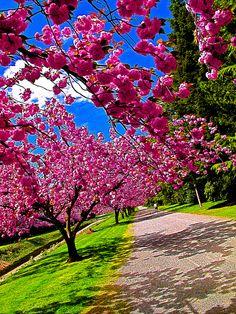 Cherry blossoms on the University of Washington campus!