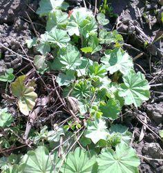 Alchémille, Alchemilla vulgaris ROSACEES Avril 2013 Hémostatique, vulnéraire, progestatif Avril, 2013, Gardens, Ceiling Rose, Plants