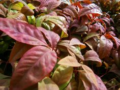 Nana Nandina- Small evergreen plant great for borders. Heat and drought tolerant once established. Brilliant red winter color, lime green in summer!