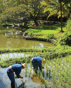 http://www.residences-chiangmai.com/location.php  Everyday is a lesson, so why not join our farmers transplanting rice sprouts from the seedbed to the ricefields in Mor Hom, traditional farmer costume at The Residences at Four Seasons Resort Chiang Mai?