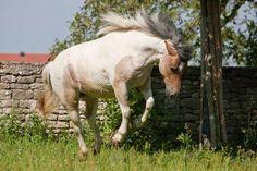 Faroe pony - Google Search