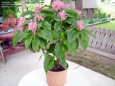 Justica plants,,, good for part shade,, moderate water,, attract hummingbirds