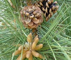 Google Image Result for http://www.hay-fever-relief.com/image-files/pine-pollen-pine-cones.jpg