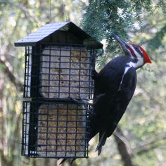 pileated woodpecker on a suet feeder in our backyard