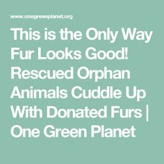 This is the Only Way Fur Looks Good! Rescued Orphan Animals Cuddle Up With Donated Furs | One Green Planet