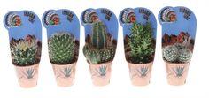cactussen zijn de gemakkelijkste kamerplanten op het gebied van onderhoud. In de natuur groeien ze op plaatsen waar vaak maanden geen druppel water valt. Daarom kunnen ze grote hoeveelheden vocht opslaan. Bovendien zijn ze zo
