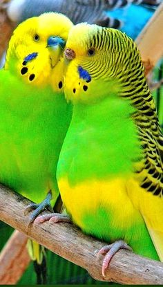 The budgerigar, also known as the common parakeet or shell parakeet and usually informally nicknamed the budgie, is a small, long-tailed, seed-eating parrot. All Birds, Cute Birds, Pretty Birds, Little Birds, Beautiful Birds, Budgie Parakeet, Cockatiel, Budgies, Parrots