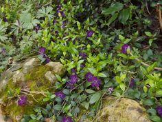 Vinca minor 'Atropurpurea' -  Myriade de petites fleurs rouge-bordeaux en mars-avril-mai. Hauteur 20 cm, distance de plantation 35 cm (aime la concurrence des racines). Culture : tout terrain, toutes expositions (adore pousser sous les arbres). Ultra rustique.