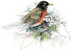 American Robin watercolour bird art wildlife by RobManciniImages