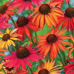 drought tolerant perennials - coneflower