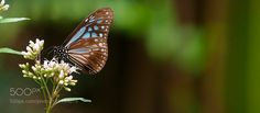 Blue tiger by philippe6
