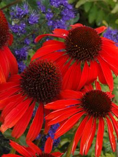 "Looking for a vivid red Coneflower? Look no further: Echinacea ""Firebird"""