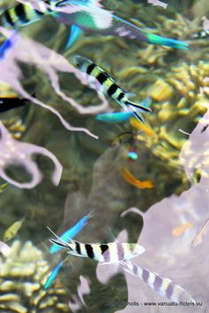 Fish of Espiritu Santo Island, Vanuatu Waters - Vanuatu by whl.travel, via Flickr