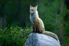 Photograph Proud Fox by Hisham Atallah on 500px