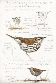 Northern Waterthrush St Marys Isles of Scilly, by Thorpe Nature Sketch, Nature Drawing, Watercolor Journal, Watercolor Bird, Bird Drawings, Animal Drawings, Drawing Birds, Nature Illustration, Botanical Illustration