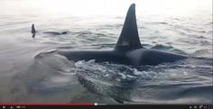 Likely you've seen it – Chris Wilton's video of Killer Whales* / Orca rubbing on a beach in the Discovery Islands on January 29th, 2015, the whales only within ~1.5 metres of the incredibly fortunate humans' feet? https://themarinedetective.com/2015/02/08/rub-me-right-beach-rubbing-behaviour-of-northern-resident-orca/