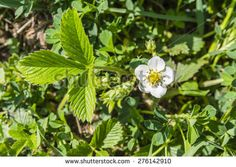 Top view of a flower Fragaria viridis