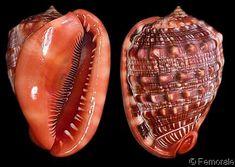 Shell Ornaments, Snail Shell, Sea Slug, Tiny Treasures, Rocks And Minerals, Sea Creatures, Sea Shells, Gems, Jewels