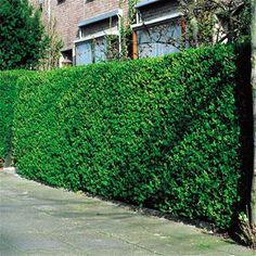 Learn how to grow privet shrubs in the garden in this article. Includes information on planting, growing and varieties of privet shrubs for privet hedge. Fast Growing Hedge, Growing Tree, Bonsai, Privet Hedge, Raised Pond, Gates And Railings, Hedging Plants, Backyard Plan, Garden Guide