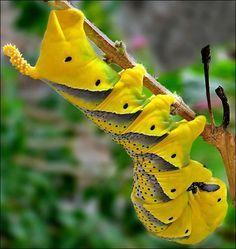 Deathhead Hawk moth caterpillar
