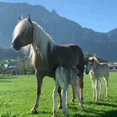 Who loves Haflinger horses? new foals meet …. they will be playing together soon! Silent Self confidence Funny Horses, Cute Horses, Pretty Horses, Horse Love, Cute Funny Animals, Cute Baby Animals, Animals And Pets, Baby Horses, Horses And Dogs