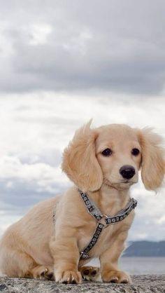what a pretty colored dachshund Dachshund Funny, Dachshund Puppies, Cute Dogs And Puppies, I Love Dogs, Pet Dogs, Doggies, Dachshund Sweater, Dapple Dachshund, Mini Dachshund