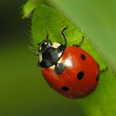 Elles sont rouges à points noirs, elles arrivent au printemps, elles dévorent vos pucerons ! Oui, ce sont bien les...