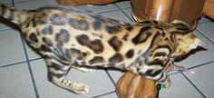 Bengal cats photos | Silver Bengal cats and Gold Bengal Kittens For Sale, Photos of Bengal ...
