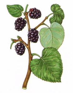 Italy and the Mulberry Tree | Italy