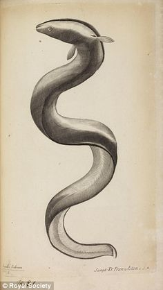 Study of an eel: Inscribed 'Anguilla Salviani', with handwritten annotation ¿an eel¿