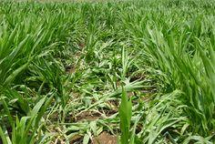 Las plantas afectadas no son capaces de mantenerse erguidas Romania, Herbs, Plants, Herb, Medicinal Plants