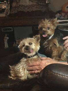 Our yorkie fur babies