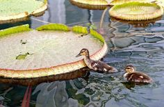 baby ducks at como park conservatory