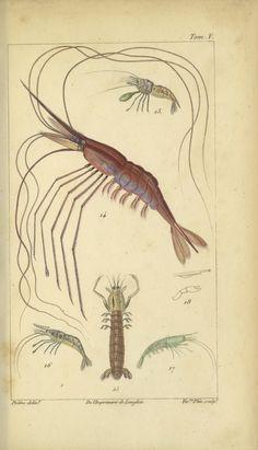 t.5 (1826) - Histoire naturelle des principales productions de l'Europe méridionale et particulièrement de celles des environs de Nice et des Alpes Maritimes / - Biodiversity Heritage Library