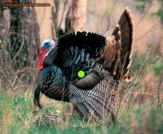 Turkey Hunting Tips - Nature's Echo Call Company
