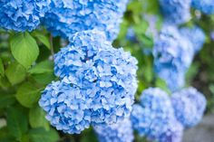 Discover different kinds of cottage garden plants from experts at HGTV. Learn tips for using cottage garden plants in your yard. Types Of Hydrangeas, Hydrangea Varieties, Hydrangea Colors, Hydrangea Care, Hydrangea Flower, Hydrangea Macrophylla, Smooth Hydrangea, Cottage Garden Plants, Gardens