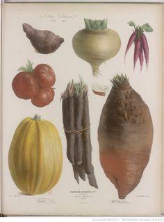 Album Vilmorin. Fleurs rustiques, annuelles et vivaces, légumes et plantes fourragères, peintes d'après nature par Mme Champin et Mlle Coutance